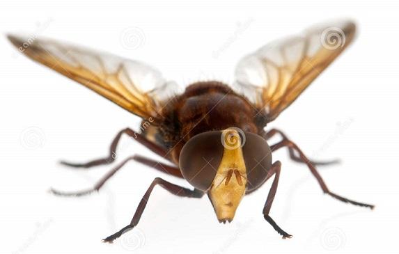 大黃蜂型態