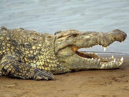 必要之鱷!